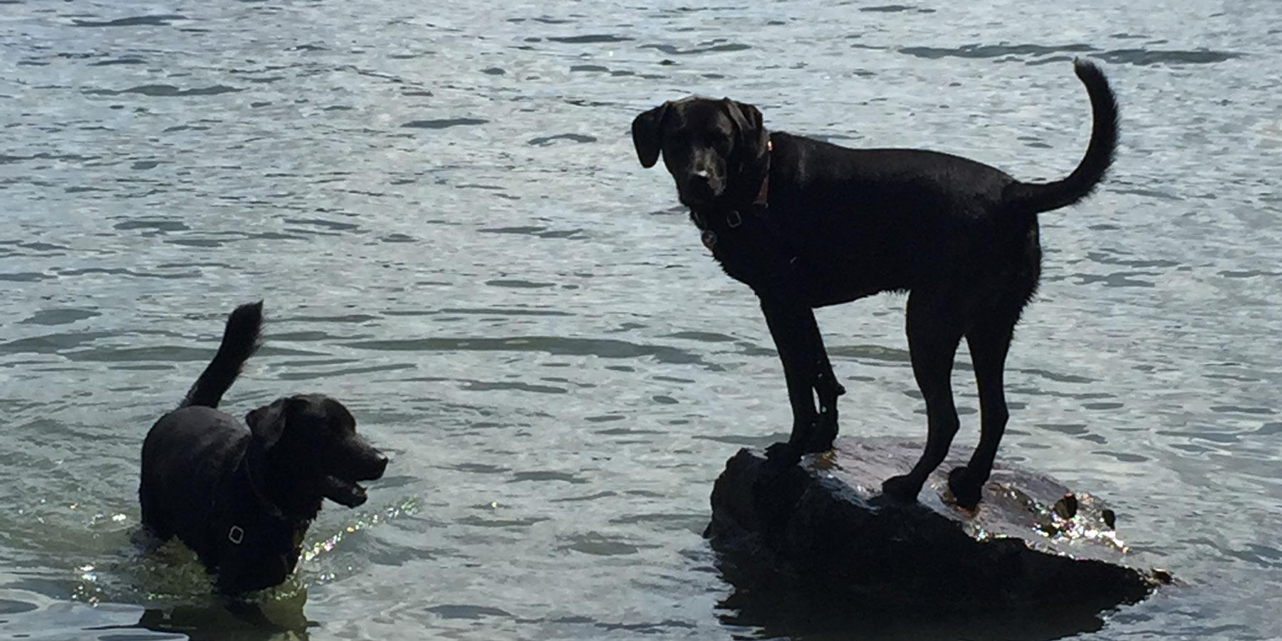 Portuguese Water Dog Seattle Rescue