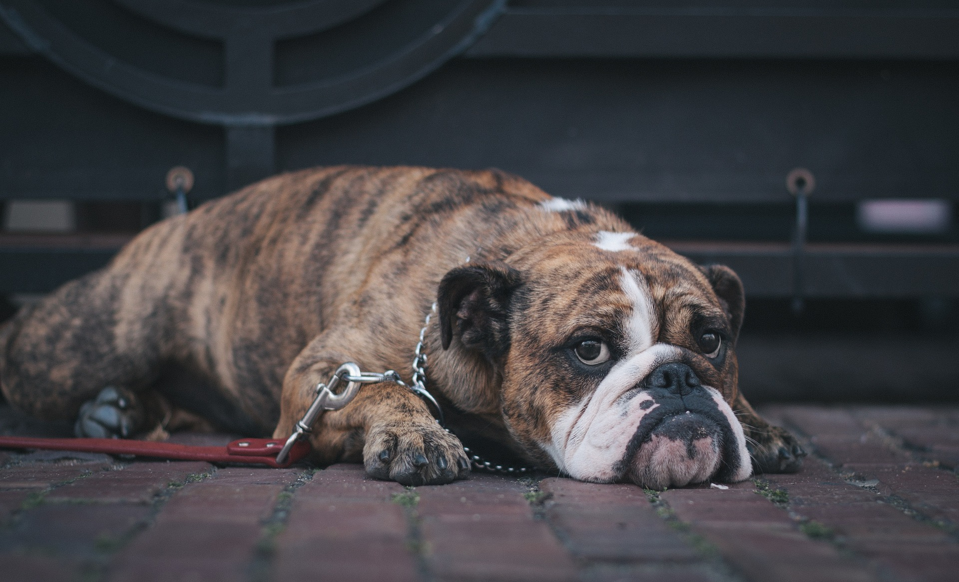 Bloat: All Dog Owners Should Be Able to Spot this Deadly Problem
