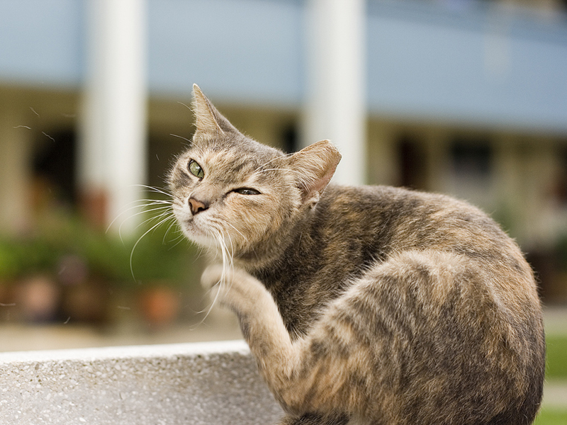 Neighborhood Cats With Tipped Ears - TNR Project & How You Can Help
