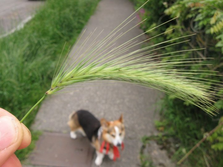 How to Protect Your Dog During Foxtail Season